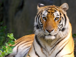Beauty of Tiger