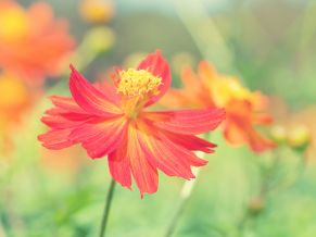 Cosmos Autumn Flower