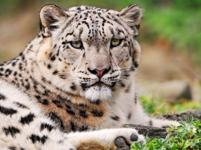 White Snow Leopard