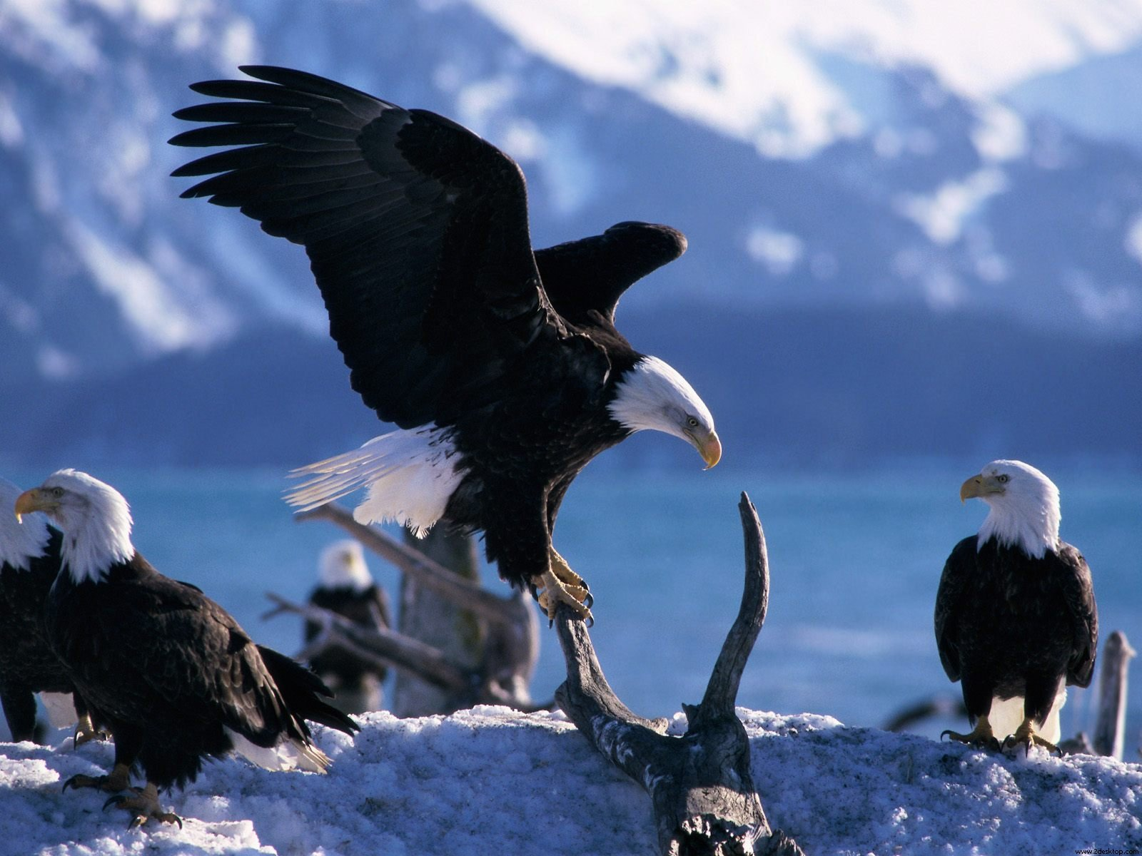 wings extended bald eagles wallpapers | wallpapers hd