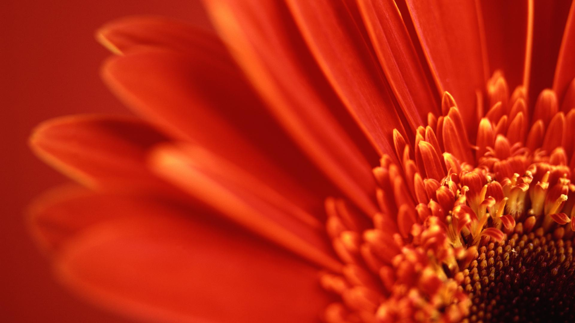 red gerbera daisy wallpapers | wallpapers hd