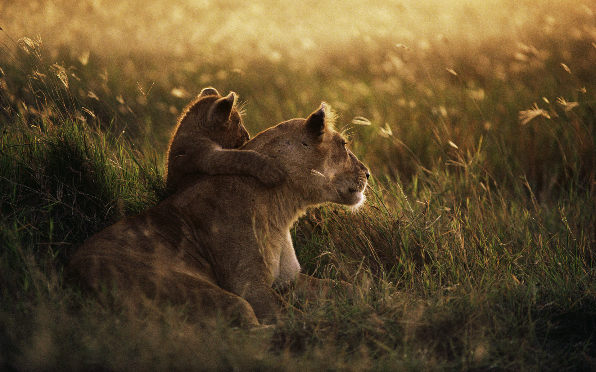 African Lion Wallpapers Wallpapers Hd
