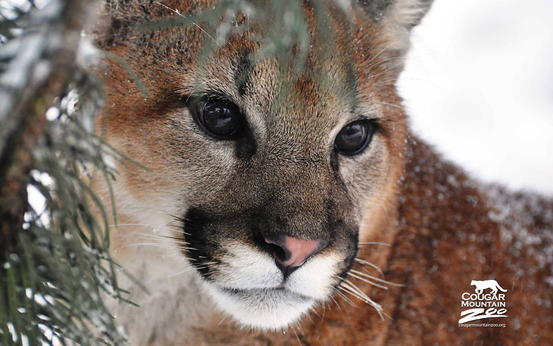 the cougar wallpapers | wallpapers hd