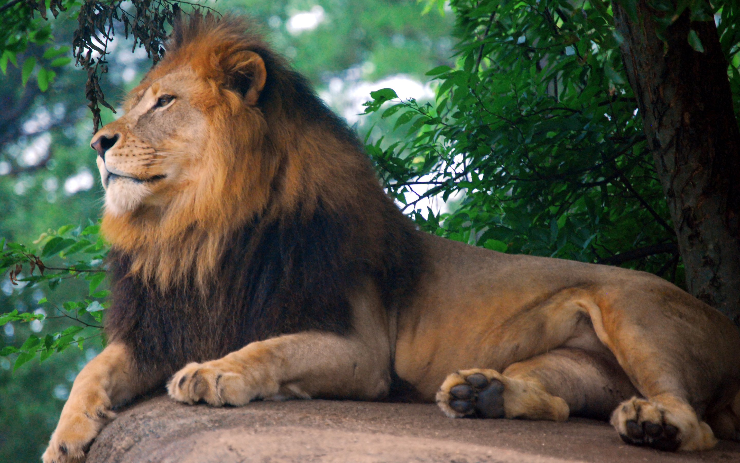 Popular Wallpaper Lion Facebook - lion_king_of_zoo-widescreen_wallpapers  Picture_99335.jpg