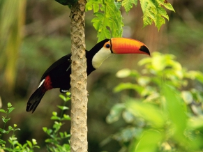 Toco Toucan in the Tropical Forest
