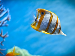 Copperb Butterfly Fish