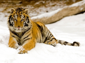 Snowy Afternoon Tiger 1