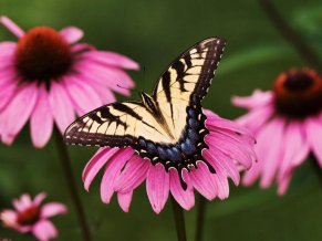Tiger Swallowtail Butterfly Purple Coneflower