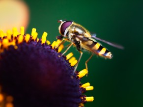 Hoverfly Pollination