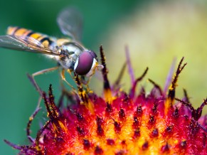 Hoverfly Pollination 1