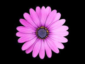 Margarita Purple Daisy...