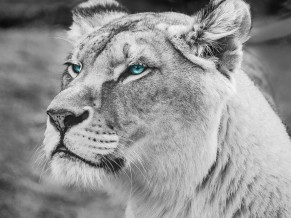 Blue eyed Lion Monochrome 5K