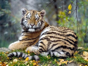 Young Tigress 4K 5K