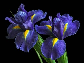 Irises Purple Flowers 5K