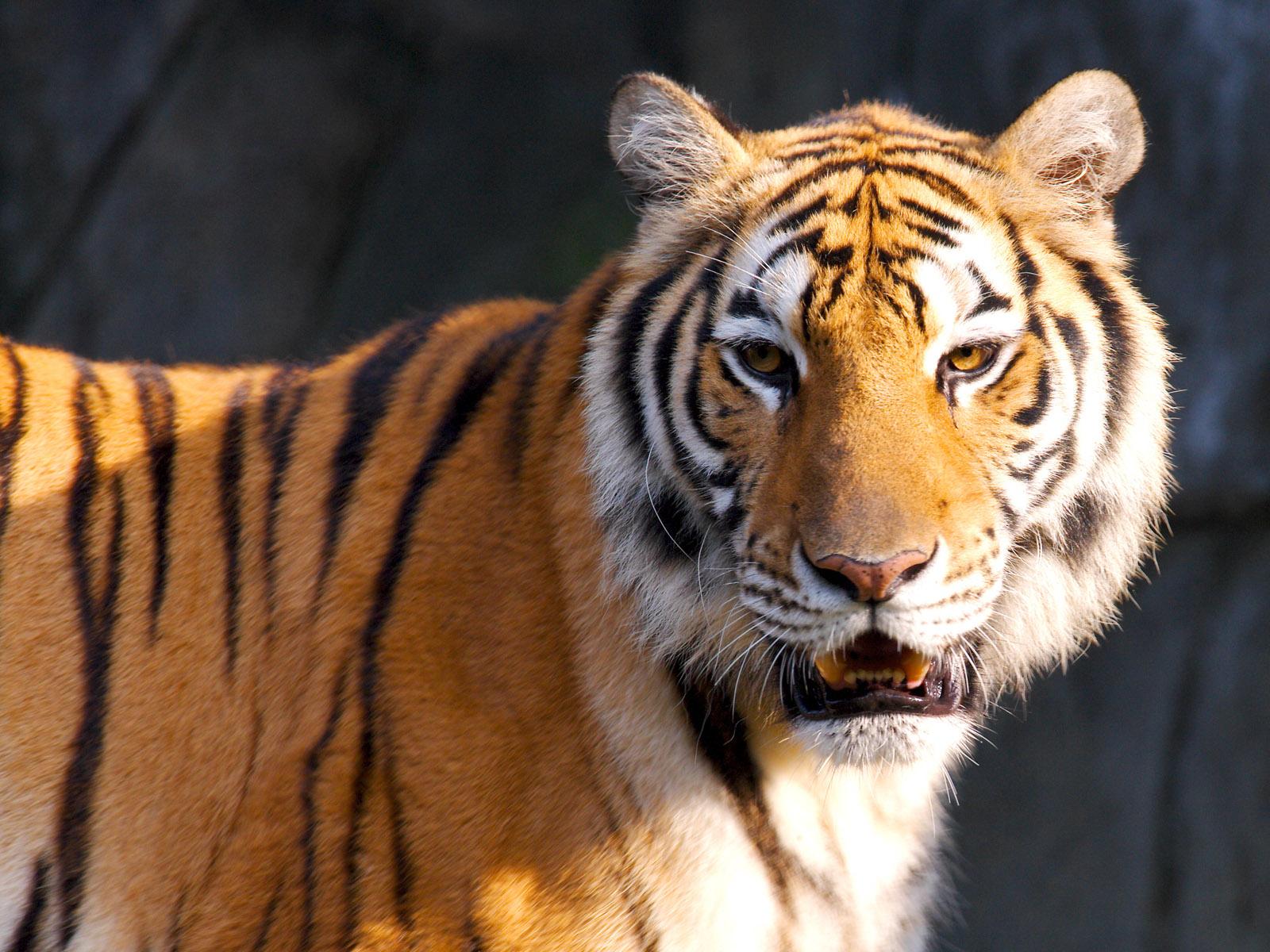 Animals Wallpaper 3d Hd 2 0 Apk Download: Tiger HD Wallpapers