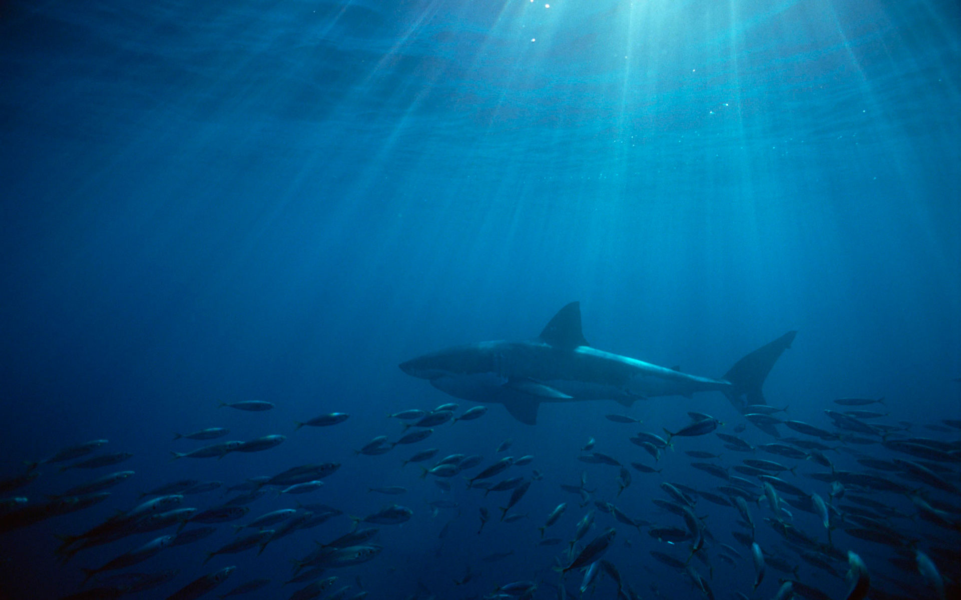 Great White Shark Australia Wallpapers Wallpapers Hd