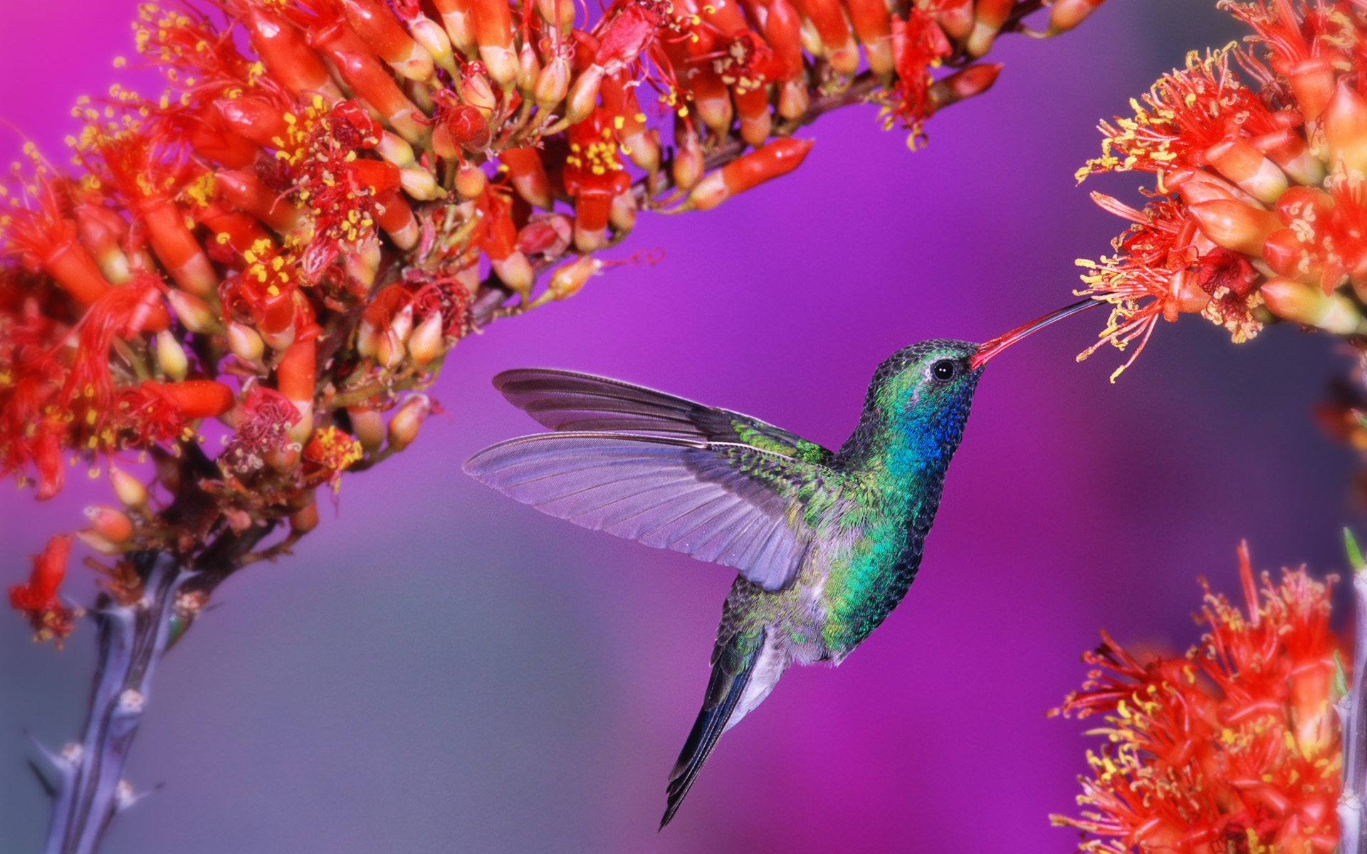 Hummingbird Wallpapers Wallpapers Hd