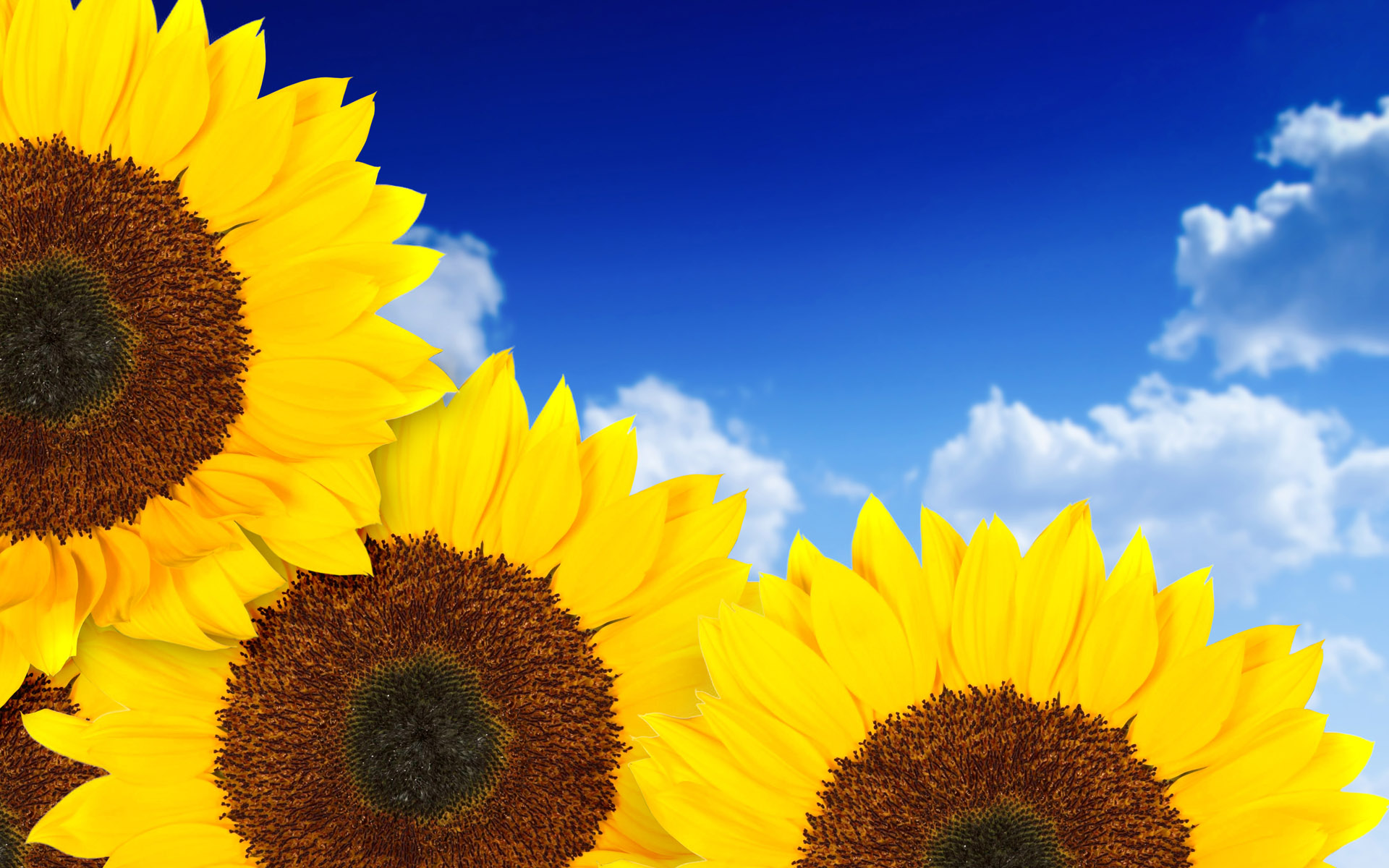 Pure Yellow Sunflowers Wallpapers | Wallpapers HD