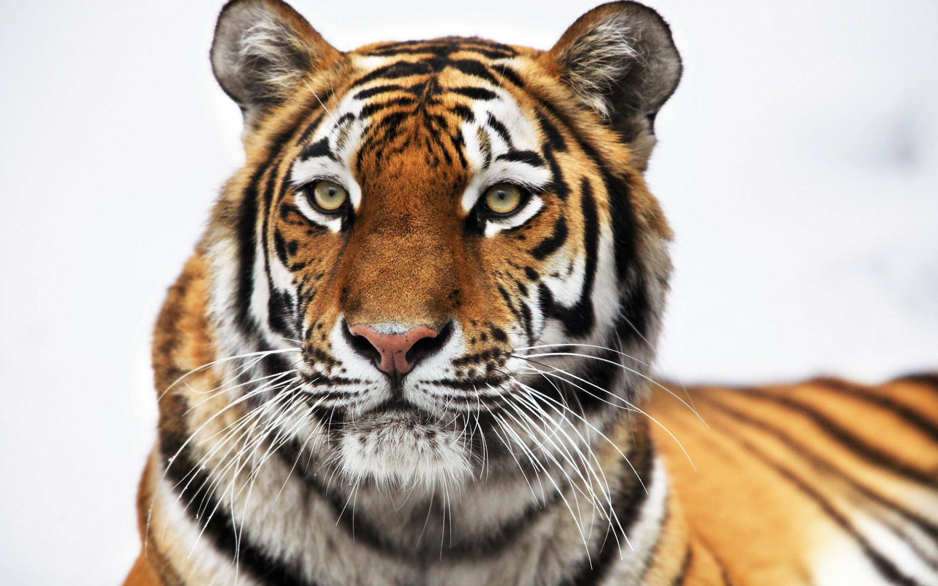 tiger wallpaper widescreen - photo #17